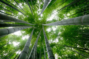 Chinese-Bamboo-Tree-300x199