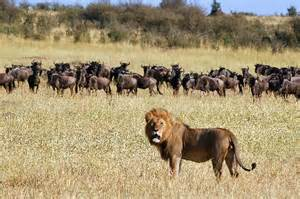 lion and herd