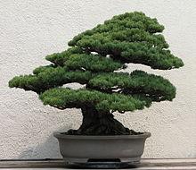 momentum and bonsai